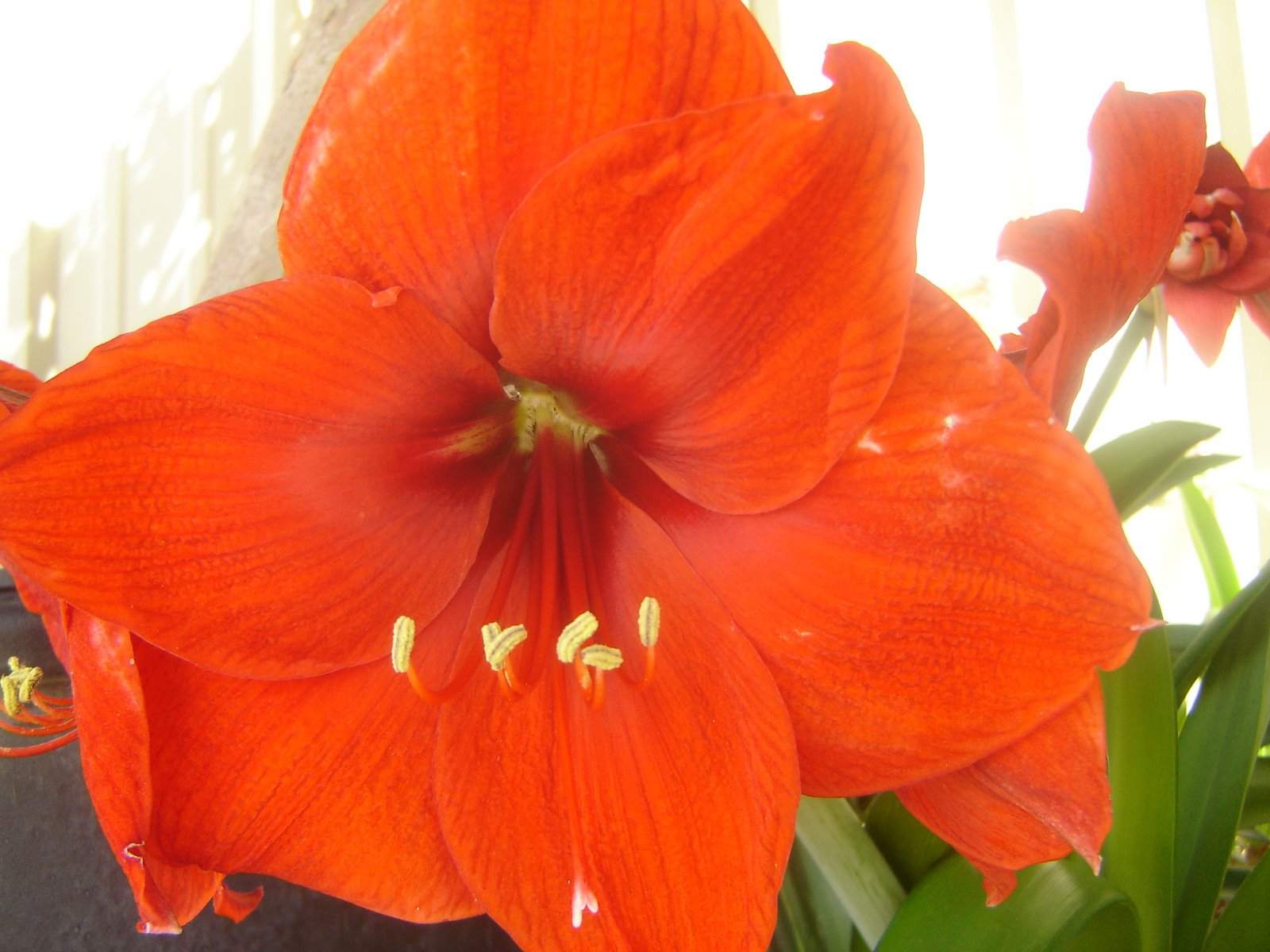 plantstep amaryllis in bloom in my garden. Black Bedroom Furniture Sets. Home Design Ideas